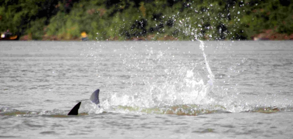 The last of its kind - Irrawaddy dolphins discovered in the Mekong Delta